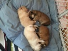 Miniature Spitz Puppy For Sale in PHILA, PA, USA