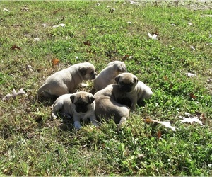 Puggle Litter for sale in BRIDGETON, NJ, USA