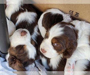 English Springer Spaniel Litter for sale in TENINO, WA, USA
