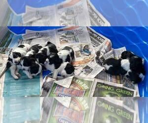 English Springer Spaniel Litter for sale in PARKER, CO, USA