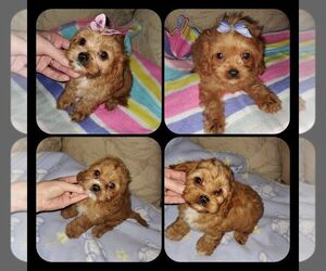 Cavalier King Charles Spaniel Litter for sale in KENDALL, WI, USA