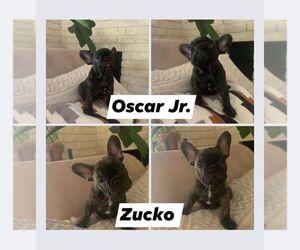 French Bulldog Litter for sale in YUBA CITY, CA, USA
