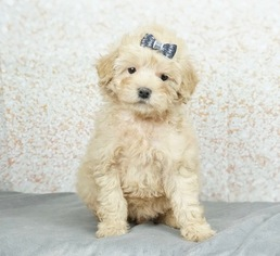 Maltese-Poodle (Toy) Mix Litter for sale in WARSAW, IN, USA