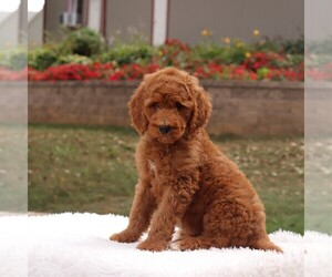Poodle (Standard) Litter for sale in GAP, PA, USA