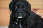 Small Golden Mountain Dog