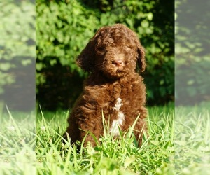 Labradoodle-Poodle (Standard) Mix Litter for sale in WARSAW, IN, USA