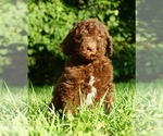 Labradoodle-Poodle (Standard) Mix Puppy For Sale in WARSAW, IN, USA