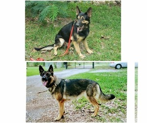 German Shepherd Dog Litter for sale in PORTER, TX, USA