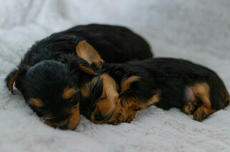 Yorkshire Terrier Litter for sale in INDIANAPOLIS, IN, USA