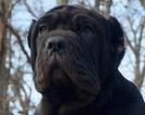Neapolitan Mastiff Puppy For Sale in WARSAW, IN, USA