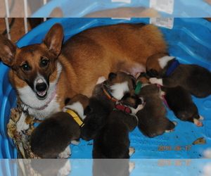 Pembroke Welsh Corgi Litter for sale in FALLS CITY, OR, USA
