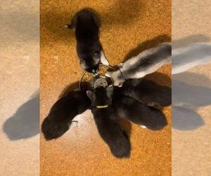 German Shepherd Dog-Siberian Husky Mix Litter for sale in LEESVILLE, LA, USA