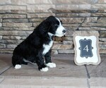 Sheepadoodle Puppy For Sale in STANLEY, VA, USA