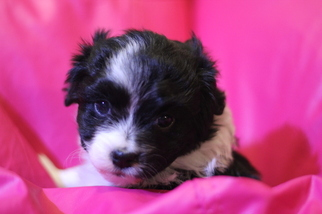 View Ad Australian Shepherd Poodle Toy Mix Litter Of