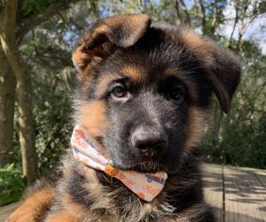 German Shepherd Dog Litter for sale in MELROSE, FL, USA