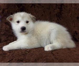Wolf Hybrid Litter for sale in SAINT IGNATIUS, MT, USA