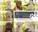 Labrador Retriever Puppy For Sale in SIOUX CENTER, IA, USA