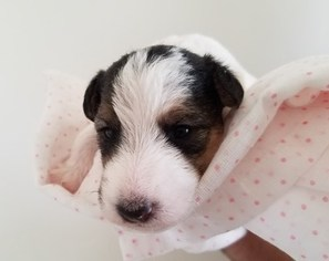 View Ad: Wire Fox Terrier Puppy for Sale, Arizona, SCOTTSDALE, USA