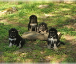 Tibetan Mastiff Puppy For Sale in FORT GIBSON, OK, USA