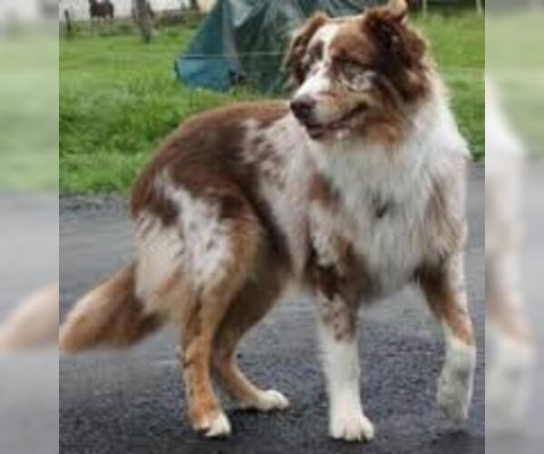 Medium Photo #3 Australian Shepherd Dog Breed