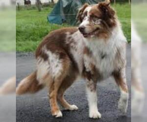 Small Photo #3 Australian Shepherd Dog Breed
