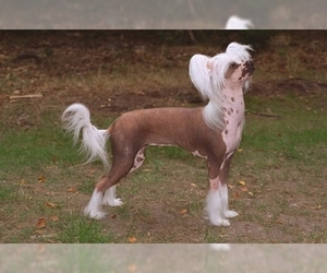 Image of Chinese Crested breed