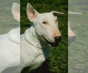 Image of breed Bull Terrier