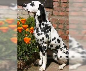Small #5 Breed Dalmatian image