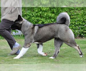 Small #5 Breed Akita image