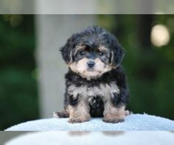 Yo Chon Breed Information And Pictures On Puppyfinder Com