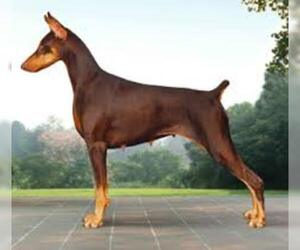 Small #2 Breed Doberman Pinscher image