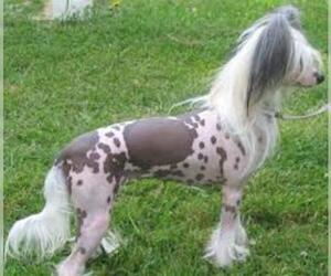 Small #1 Breed Chinese Crested image