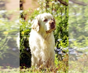 Image of Clumber Spaniel Breed
