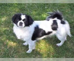 Small #1 Breed Japanese Chin image