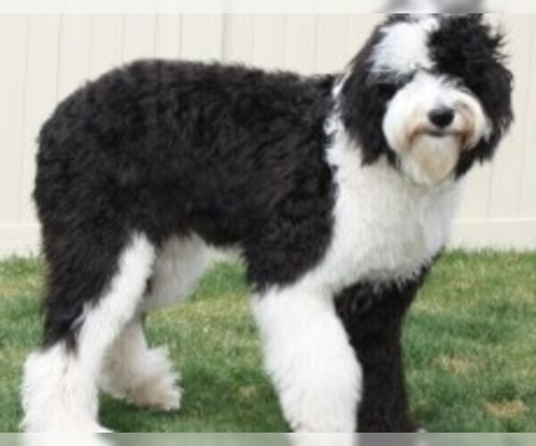 Image of Sheepadoodle Breed