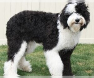 Image of breed Sheepadoodle