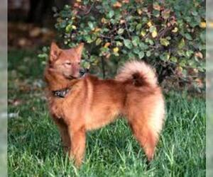 Small #1 Breed Finnish Spitz image