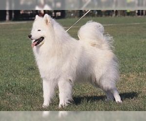 Image of Standard Spitz Breed