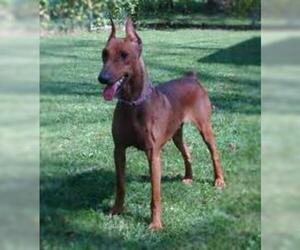 Samll image of German Pinscher