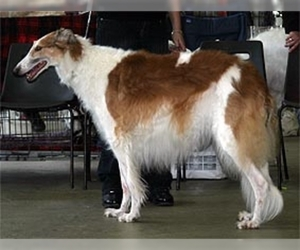 South Russian Steppe Hound (Steppe Borzoi)