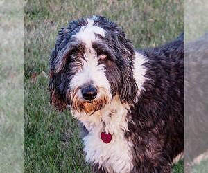 Small Photo #4 Aussiedoodle Dog Breed