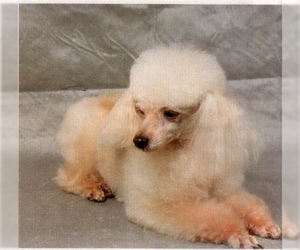 Samll image of Poodle (Toy)