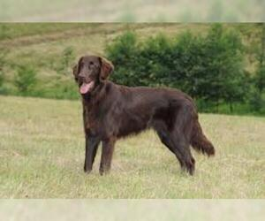 Small #3 Breed Flat Coated Retriever image