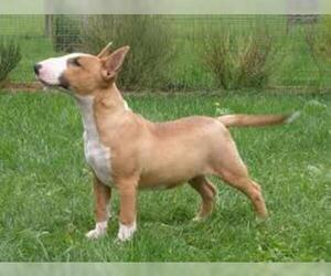 Small #1 Breed Bull Terrier image