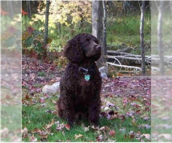 American Water Spaniel Puppies For Sale In Usa Page 1 10 Per Page Puppyfinder Com