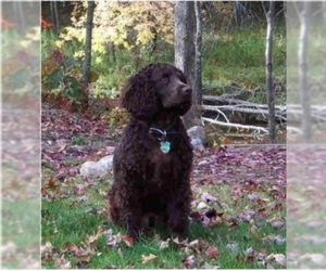 Image of American Water Spaniel Breed
