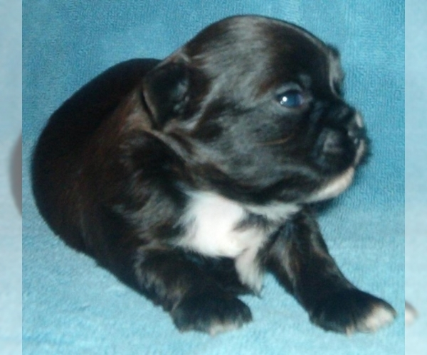 Image of Shorkie Tzu Breed
