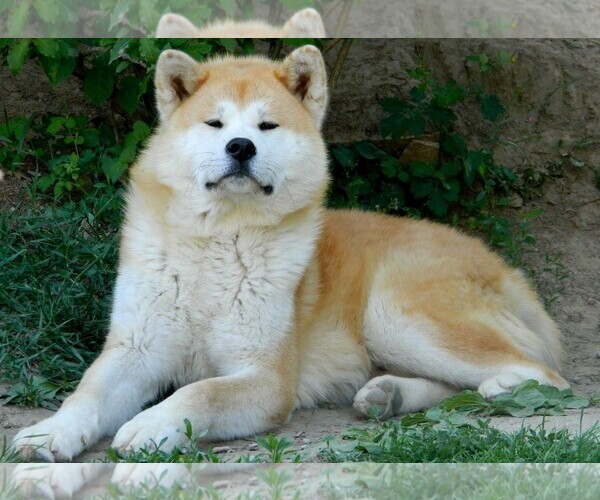 Medium Photo #5 Akita Dog Breed