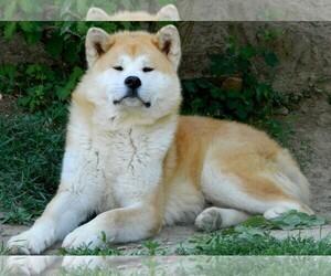 Small #4 Breed Akita image