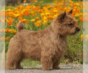 Small #2 Breed Norwich Terrier image